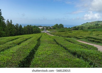 Tea lines at Gorreana tea plantation, Sao Miguel, Azores