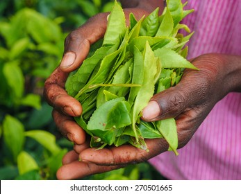 Tea picker holding in her hands freshly picked tea leaves