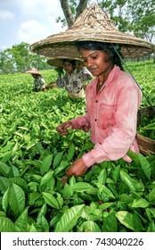 TEA PICKERS, ASSAM, INDIA - APRIL 18, 2007 : Assam Tea Garden grown in lowland and Brahmaputra River Valley.