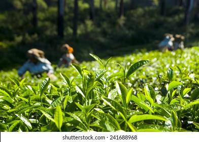 Tea pickers working at Kerela India.