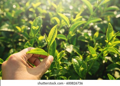Tea Picking by Farmer hand, harvesting in every morning at green organic farm, Close up shot
