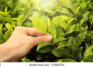 tea picking hand