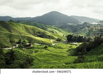 tea plant in Cameron highland/ mountain