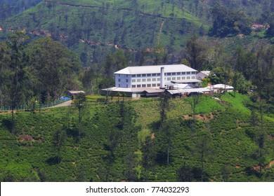 tea plant in Sri Lanka (Ella)