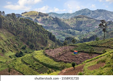Tea plantation and agricultural terraces in Uganda, Africa