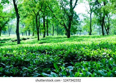 Tea plantation in Asam India. Landscape herbaltea plantations. Tealeaf plantation blue sky in morning. Beautiful green field. Fresh tea leaves in garden farm. Rows of fresh tea leaves and tea bushes