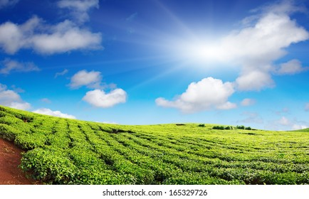 Tea plantation with blue sky