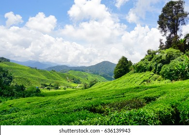 Tea Plantation with blue sky and clouds over the field