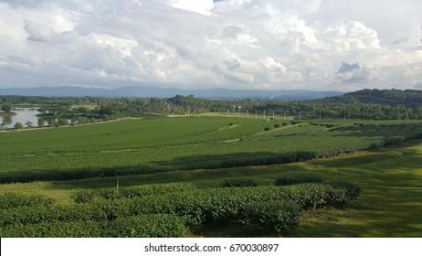 Tea Plantation at Boon Raod, Chiang Rai