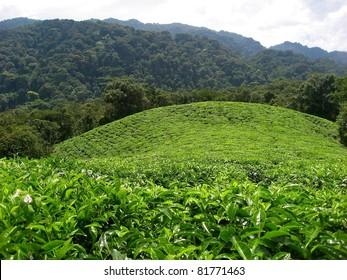 Tea plantation bordering rain forest in Rwanda