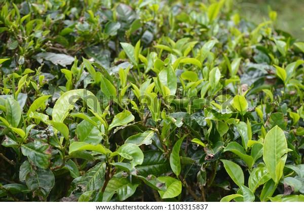 Tea Plantation In Cameron Highland