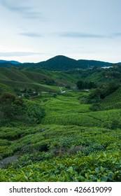 Tea plantation Cameron highlands during sunrise, Malaysia