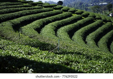 Tea plantation Cameron highlands, Green Tree plantation on the high hill . the step of the tree plantation on the mountain. Tea Tree Shadow in the role, background.