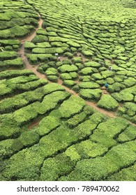 Tea plantation at Cameron Highlands, Malaysia.