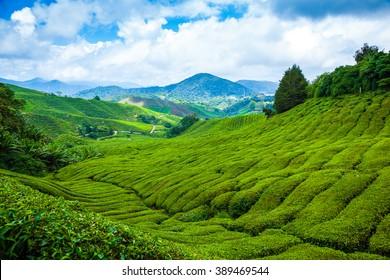 Tea plantation in Cameron Highlands at noon