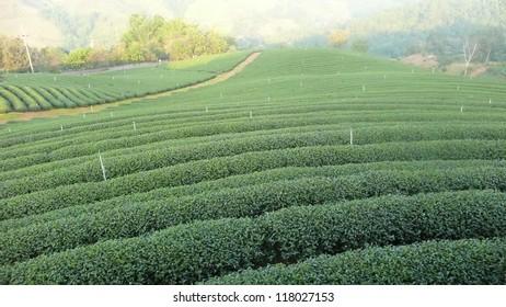 Tea plantation Cameron highlands, Thailand.