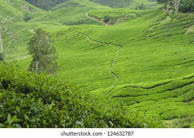 Tea plantation in the Cameron Highlands,Malaysia,Asia.