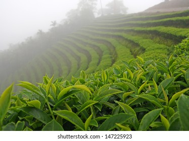 Tea plantation Cameron highlands,Taiwan