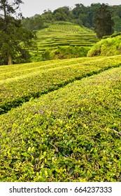 Tea Plantation at Cha Gorreana on Sao Miguel Island, the Azores archipelago in the Atlantic Ocean belonging to Portugal