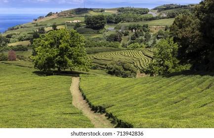 Tea Plantation at Cha Gorreana on Sao Miguel Island, Azores Islands, Portugal