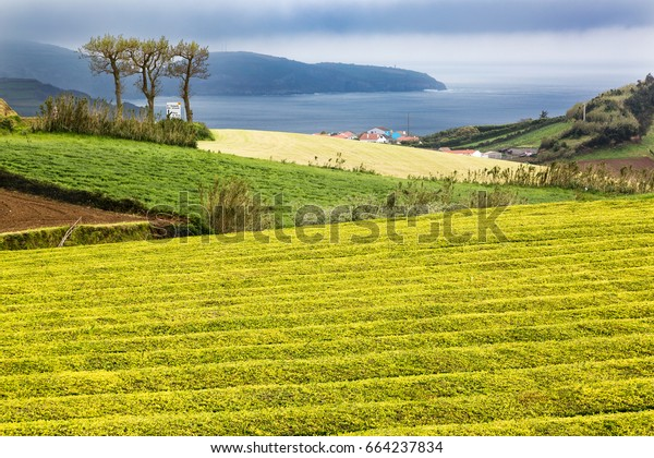 Tea Plantation at Cha Gorreana on Sao Miguel Island, the Azores archipelago in the Atlantic Ocean belonging to Portugal