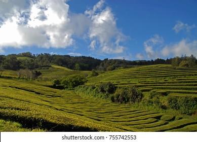 Tea plantation (Cha Gorreana) under blue sky in Sao Miguel, Azores, Portugal