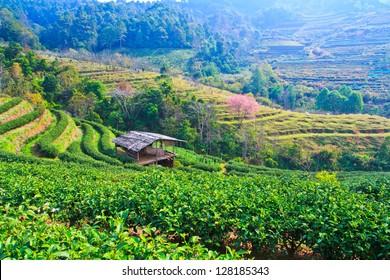 Tea plantation Cherry blossom sakura flower with home thailand