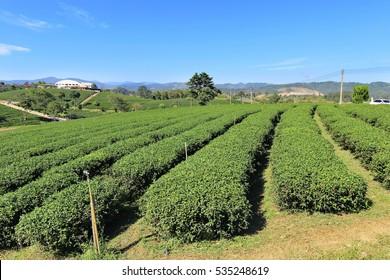 Tea plantation in Chiang rai province, north Thailand