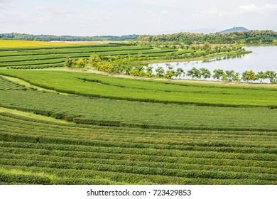 Tea plantation at Chiang Rai province, Thailand.