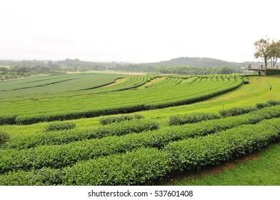 tea plantation at Chiangrai, located northern thailand