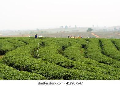 Tea plantation at Chui Fong, Chiang Rai, Thailand.