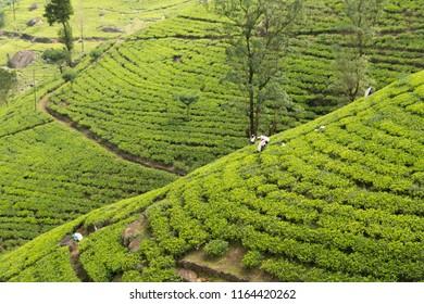 tea plantation countryside in Sri Lanka