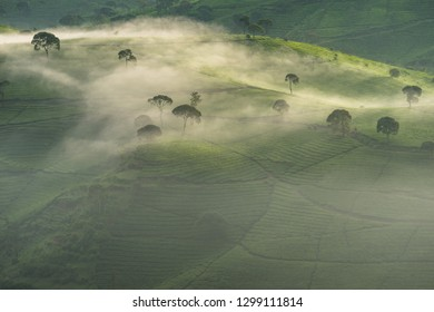 Tea plantation covered by mist in the morning, aerial view, Bandung, Indonesia