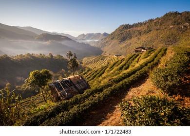 Tea Plantation at Doi Ang Khang ,Chiang Mai ,Thailand
