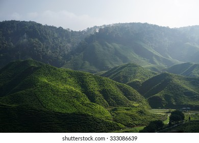 Tea Plantation Farm at Cameron Highland