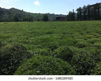 Tea plantation field Black Sea region Turkey