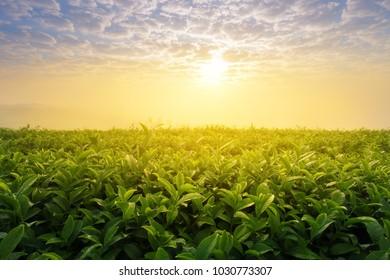 Tea plantation. Tea field with sunlight in morning
