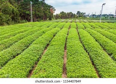 Tea Plantation fields at Shizuoka. Aerial Drone photography.