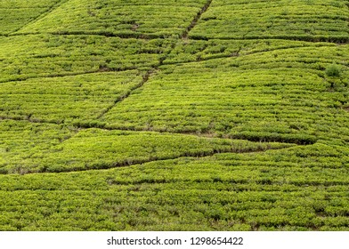 Tea plantation (tea fields) in Sri Lanka. Texture background