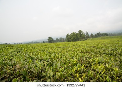 Tea plantation at the foot of Mount Cameroon, Buea, Cameroon, Africa