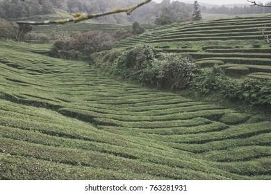 Tea plantation Gorreana