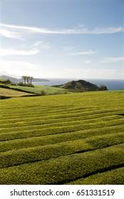 Tea plantation Gorreana. Island of San Miguel, Azores, Portugal.
