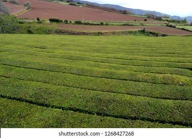 Tea plantation Gorreana, Sao Miguel island, Azores
