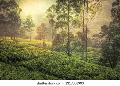Tea plantation hill field fog trees terrace sunrise landscape in Asian Sri Lanka Nuwara Eliya surroundings