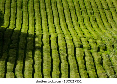 Tea plantation, interesting striped pattern of lines of the green plants.