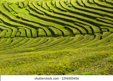 Tea plantation, interesting wavy pattern of lines of the green plants.