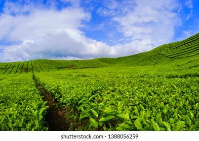 tea plantation of the kayu aro kerinci