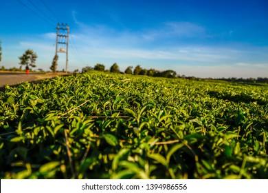 Tea plantation in the Kenyan Highlands