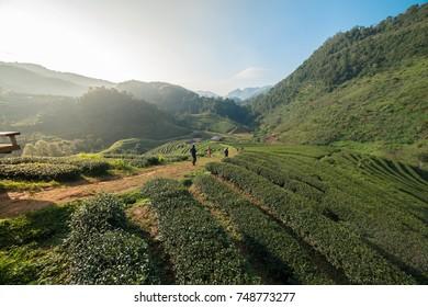 tea plantation landscape in  Chiangmai Thailand