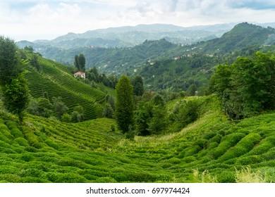 Tea Plantation Landscape, Rize, Turkey